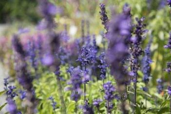 Plumline Nursery Murrysville PA lavender plant