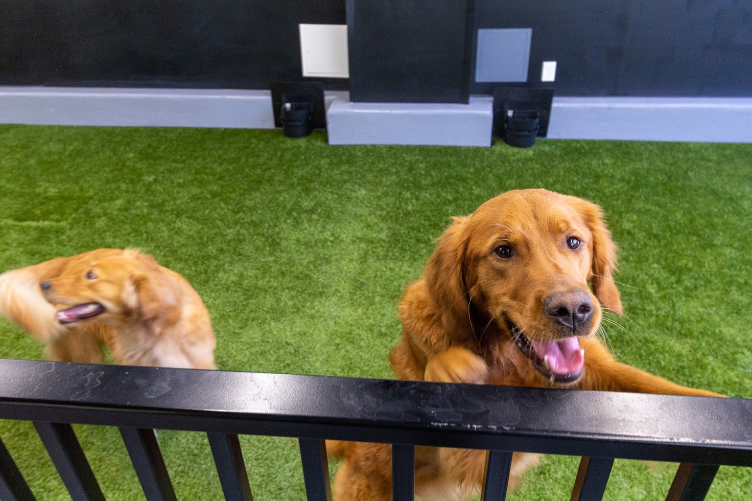 golden retriever dogs Heart + Paw dog care and Veterinary on Germantown ave in Philadelphia, PA